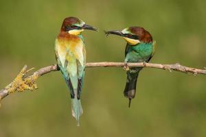 par de abelharucos europeus