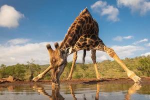 girafa sul bebendo