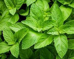 folhas de hortelã close-up foto