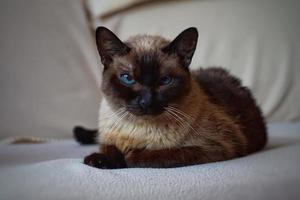 um lindo retrato de gato siamês