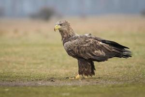 águia de cauda branca em ambiente natural foto