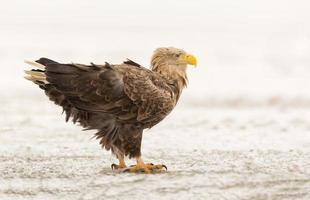 águia de cauda branca em ambiente natural de inverno foto