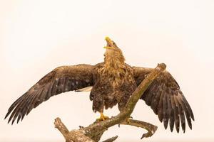 asas abertas eegle de cauda branca