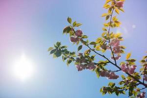 árvore da flor de cerejeira da primavera em saint louis