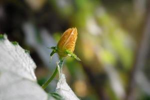 flor de abóbora feminina no fundo da natureza