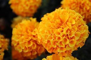 macro close-up de flores de calêndula laranja e amarela em flor na primavera