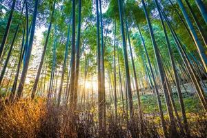 bela floresta de bambu em arashiyama, kyoto, japão foto