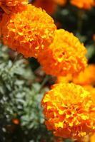 macro close-up de flores de calêndula laranja e amarela em flor na primavera foto