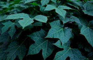 lindas folhas verdes escuras