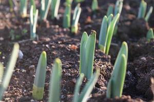 macro close-up de brotos de plantas verdes e mudas no solo foto