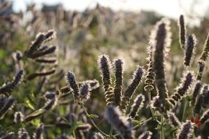 planta de lavanda na primavera com detalhes macro foto