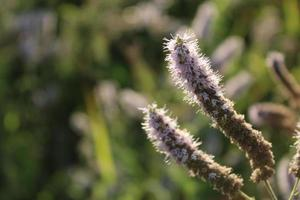 planta de lavanda na primavera com detalhes macro