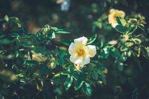 flores de mini roseiras