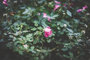 pequena rosa rosa cercada por folhagens