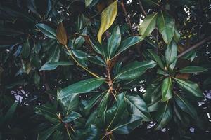folhas verdes de uma árvore de magnólia