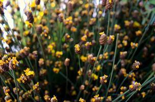 Prado de flores silvestres amarelo dourado com fundo de textura bokeh