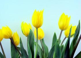 tulipas de flores amarelas com fundo de cor azul claro