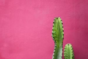 cacto perto da parede rosa foto