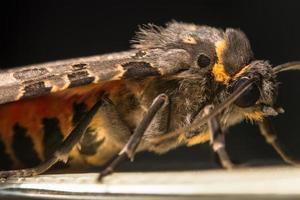 macro mariposa noturna foto