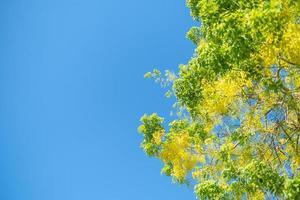 árvore de chuva dourada, flor nacional de fístula de cássia da Tailândia com fundo de céu azul