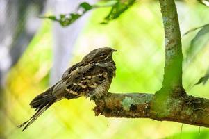 Pássaro nocturno de cauda grande em um galho de árvore na floresta