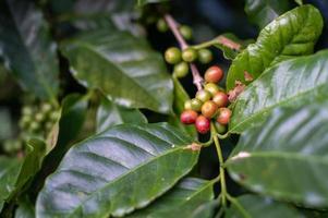 grãos de café vermelhos e verdes na árvore de phahee, chiang rai, tailândia foto