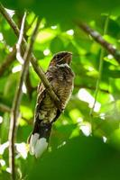 pássaro nocturno num galho de árvore na floresta