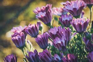 flores roxas e rosa de margarida africana