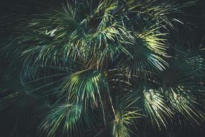 folhas de uma palmeira da Califórnia