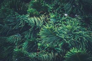 folhas agudas do pinheiro da ilha norfolk