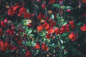 pequenas flores vermelhas de sálvia