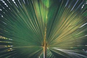 palm fan palm california