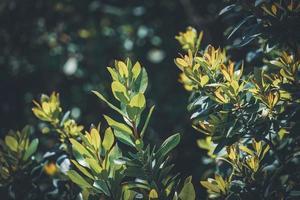 folhas verdes de um medronho unedo