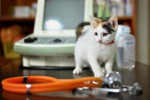 gatinho branco com um estetoscópio em um consultório veterinário