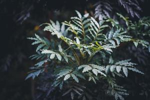 folhas de freixo do cabo