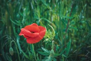 flor de papoula vermelha em um campo de grama alta