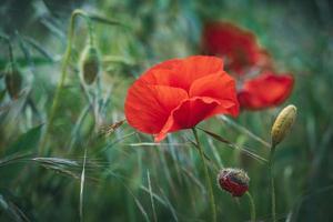 flor de papoula vermelha entre espigas verdes de trigo