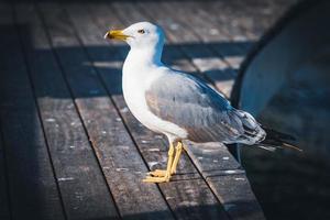 gaivota de patas amarelas em um cais de madeira