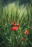 flores de papoula entre espigas verdes de trigo