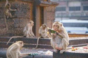 macaco comedor de caranguejo comendo frutas em lop buri, tailândia