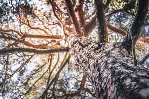 tronco de pinheiro com close-up da casca foto