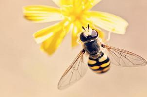 macro foto de abelha polinizando flor amarela