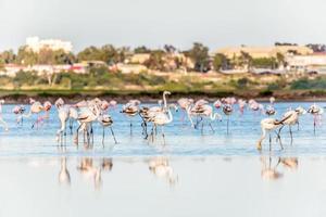 flamingos no lago salgado de larnaca, chipre foto