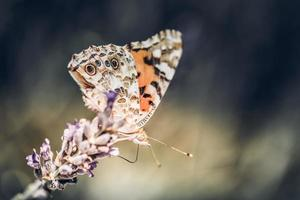 close-up de borboleta na flor roxa de lavanda foto