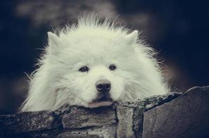 filhote de cachorro samoiedo triste