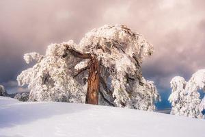 cenário de inverno com pinheiros nevados foto