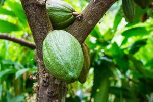 fruto do cacau em um galho de árvore foto