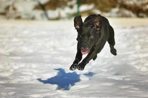 cachorro preto feliz correndo na neve