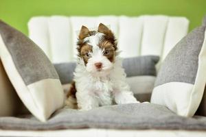 um cachorro yorkshire terrier sentado em uma cadeira bege
