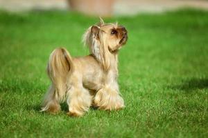 Cabelo comprido do yorkshire terrier correndo em um prado verde no parque